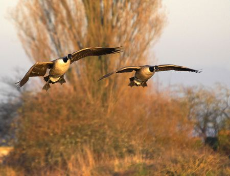 Two Canadian Geese look for a clear landing spot at their evening roosting site on a UK wetland reserve. Stock Photo