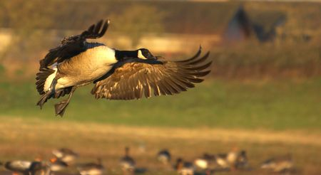 A Canadian Goose glides into its roosting site at a UK wetland reserve in early evening sunlight. photo