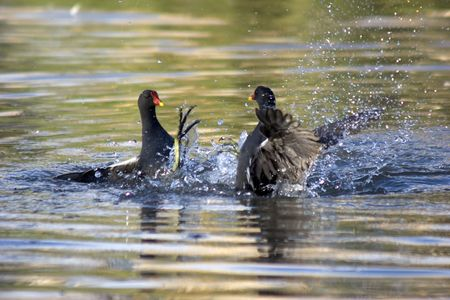 squabble: Two Moorhens get themselves into a squabble at a wetlands centre in the UK.