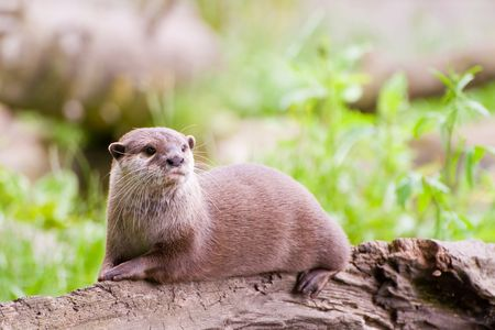 A beautiful Otter resting on a felled log near a river in the UK.