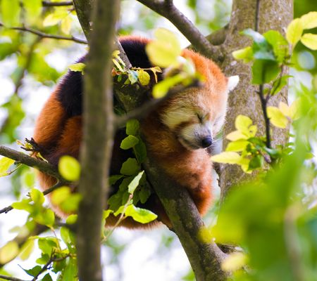A Red Panda sleeping in a tree. photo