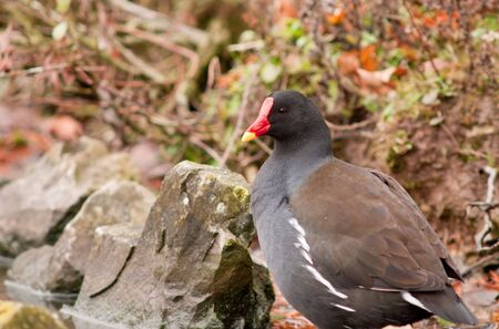 This beautiful Moorhen was photographed at a wetland reserve in the UK. photo