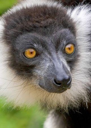 comores: Black & White Lemur