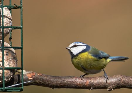 A Blue-Tit eyes up its breakfast at a feeding station.