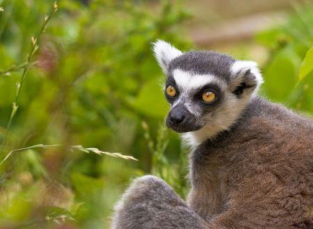 An endangered Ring-tailed Lemur.