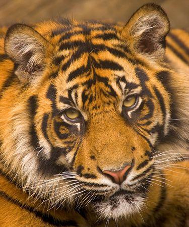 This young Sumatran Tiger was photographed at a UK zoo. photo