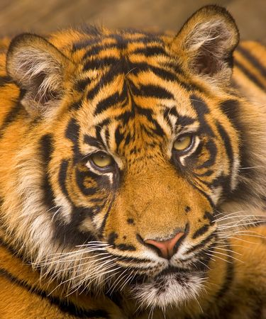 wild asia: This young Sumatran Tiger was photographed at a UK zoo. Stock Photo