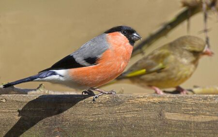 Bullfinches are in serious trouble in Britain, with the population down by 62 per cent in 35 years.