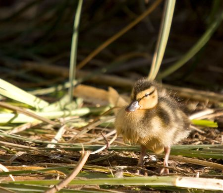 captured: A newborn duckling, captured on a lake in the UK. Stock Photo