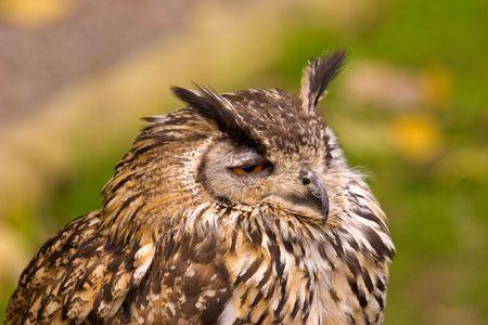 A portrait shot of a Bengal Eagle Owl.