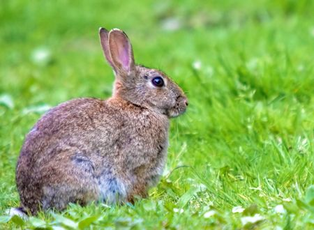 adaptable: This image of a European Wild Rabbt was captured in the UK.