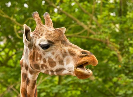 Giraffes can inhabit savannas, grasslands, or open woodlands. They prefer areas enriched with Acacia growth. They often drink, and as a result, they can spend long periods of time in dry, arid areas. When searching for more food they will venture into are