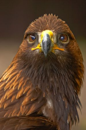 In most areas the Eagle is now a mountain-dweller, but in former centuries it also bred in the plains and the forests.