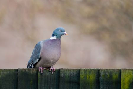 A colourful Wood Pigeon perched on a timber fence.
