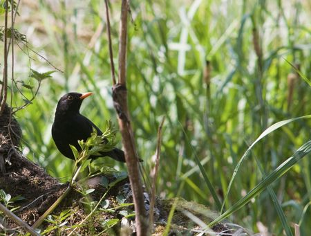 birdwatching: A Blackbird foraging for food on a spring morning. Stock Photo