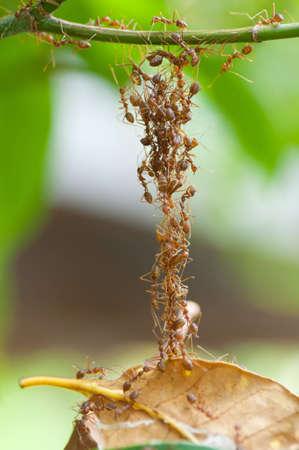 Red ants build a bridge by sacrificing photo