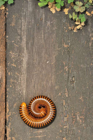 centipede: A rolled centipede on a wood slab Stock Photo