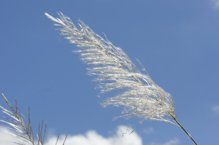 floatable: Grass flower in the wind and bright blue sky