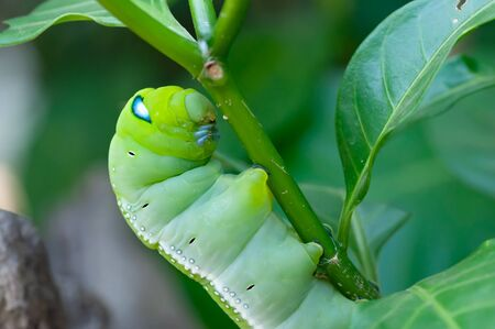 Oleander hawk moth is stop eating and stay put on a tree which is its food