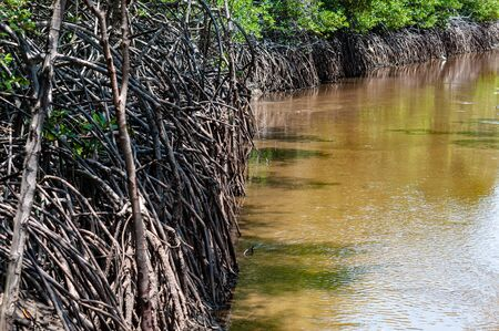 Messy roots of mangrove trees beside a clean and clear brackish water canal Stock Photo