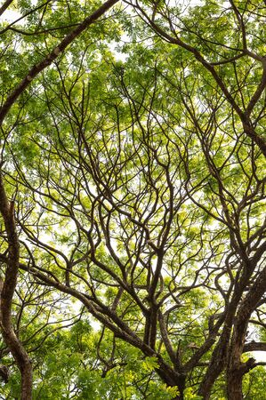 Pattern of a rain tree branches with leaves those thrive to the sky under bright sunlight