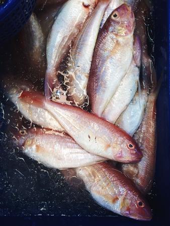 sheatfish: Bigote siluros Foto de archivo