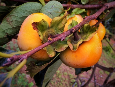 persimmon tree: Persimmon tree Stock Photo