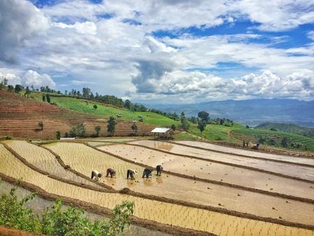 transplant: Transplant rice cultivation Stock Photo