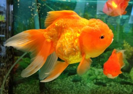 gold: Lion head gold fish Stock Photo