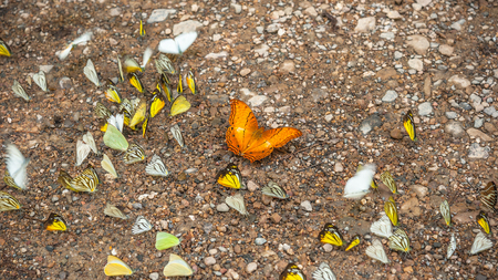 eats: Group of butterflies puddling on the ground and flying in nature, Thailand Butterflies swarm eats minerals in Ban Krang Camp, Kaeng Krachan National Park at Thailand Stock Photo