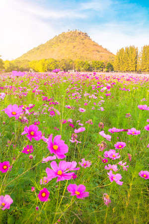 A field of cosmos with Mountain in the background.Beautiful cosmos flowers field at Jim Thompson farm at Nakornratchasima, Thailand