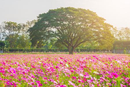 巨大なツリーで、背景の山とコスモスのフィールドです。街ナコンラチャシマ、タイのジム ・ トンプソンの農場で美しいコスモスの花