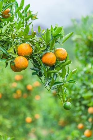 arboleda: árbol de naranja - Orange Farm en el barrio de colmillo en Chiang Mai, Tailandia