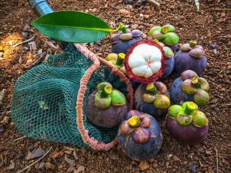 long handled: Mangosteen in a long-handled fruit-picker on groundMangosteen and cross section showing the thick purple skin and white flesh of the queen of friuts, Mangosteen flesh, closeup.