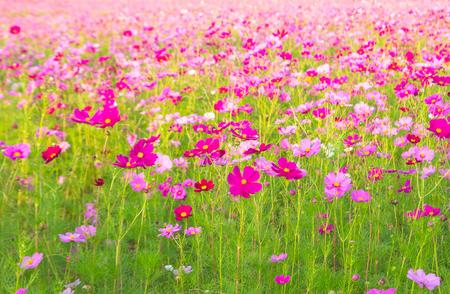 背景に山とコスモスのフィールドです。街ナコンラチャシマ、タイのジム ・ トンプソンの農場で美しいコスモスの花