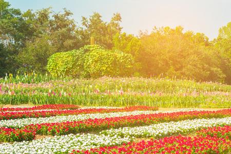 背景に山とコスモスのフィールドです。背景に山とコスモスの山地フィールド街ナコンラチャシマでジムトンプソン農場で美しいコスモス花畑。美 写真素材