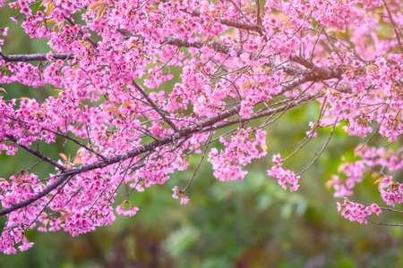 Pink blossoms on the branch with blue sky during spring blooming Branch with pink sakura blossoms and blue sky background. Blooming cherry tree branches against a cloudy blue sky Stock fotó