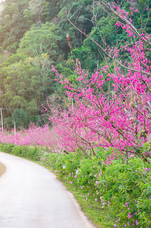 Cherry Blossom Pathway road in Chiang Mai, Thailand.Landscape of pink Cherry blossom flower or Sakura flower with road