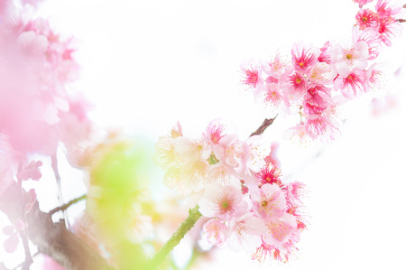Pink blossoms on the branch on white background during spring blooming Branch with pink sakura blossoms isolated. Blooming cherry tree branches isolated on white background. Himalayan blossom Stock fotó