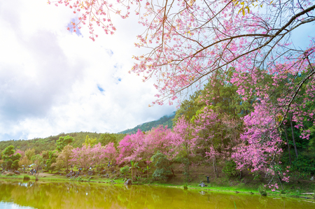 Landscape of pink Cherry blossom flower or Sakura flower with lake at Khun Wang Royal Project in Chiang Mai, ThailandWild Himalayan Cherry (Sakura Thailand), Chiang Mai, Thailand