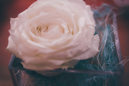Close-up of white rose, soft focus in retro vintage style.White rose in a glass on a table at restaurant.