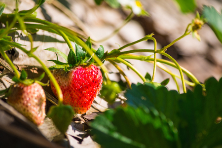 Close-up of strawberries with white flower in the garden.Organic strawberry field at Doi Ang Khang mountain, Chiang Mai, Thailand.