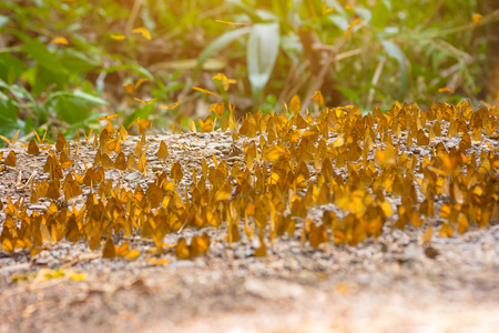 Group of butterflies puddling on the ground and flying in nature, Thailand Butterflies swarm eats minerals in Ban Krang Camp, Kaeng Krachan National Park at Thailand Stock Photo