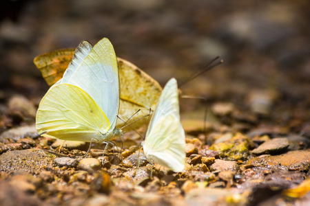 Group of butterflies puddling on the ground and flying in nature, Thailand Butterflies swarm eats minerals in Ban Krang Camp, Kaeng Krachan National Park at Thailand Stock fotó