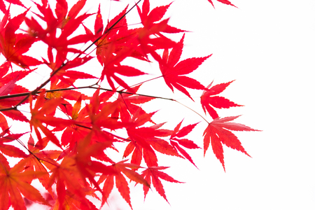 Red maple leaves branches in autumn season isolated on white background, Japan