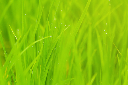 Rice with drop of waterPaddy rice field in the morning.Water drop on natural rice green field background, selective focus.Green rice pattern background.