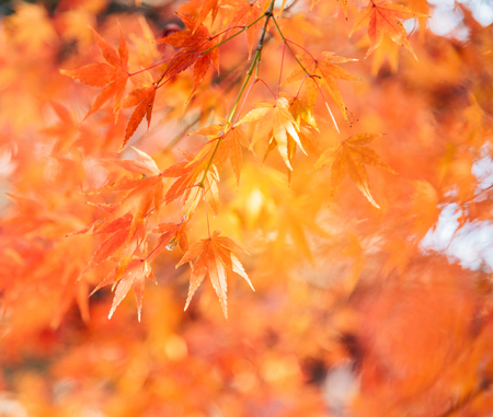 Red maple leaves branches in autumn season isolated on white backgroundRed maple tree with golden sunlight and blurred background, Japan Stock fotó