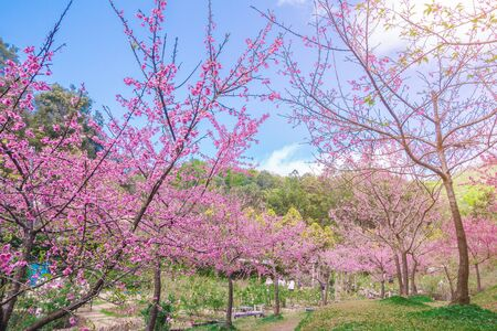 Pink blossoms on the branch during spring blooming at Doi Ang Khang. Branch with pink sakura blossoms, Chiang Mai, Thailand. Blooming cherry tree branches against a cloudy blue sky Himalayan blossom Stock fotó