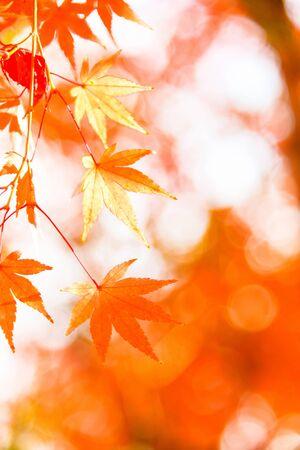 Red maple leaf, autumn sunset, tree blurred bokeh background, Japan Stock fotó