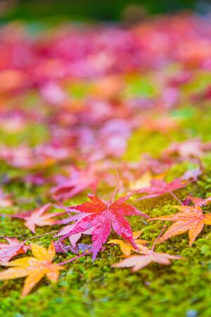 Red maple tree fall in the garden with golden sunlight and blurred background, Japan Red maple leaves branches in autumn season isolated on white background